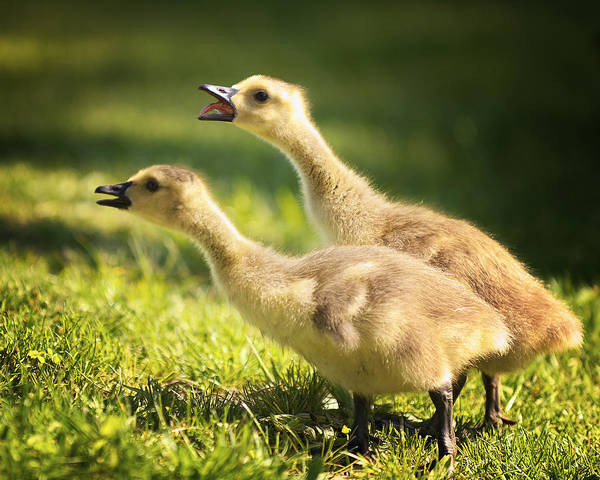 Gosling Photograph - The Duet by Vicki Jauron