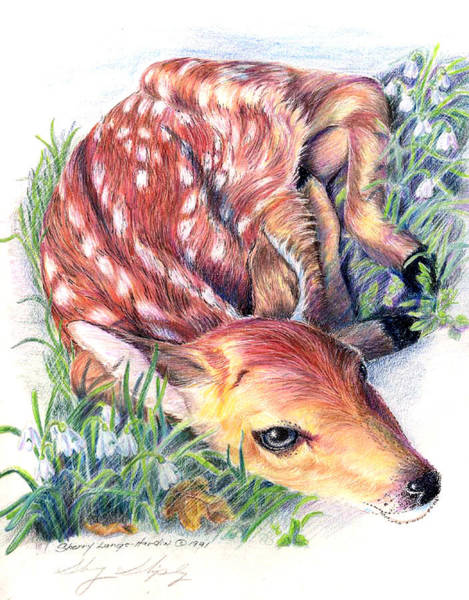 Drawing - The Fawn by Sherry Shipley