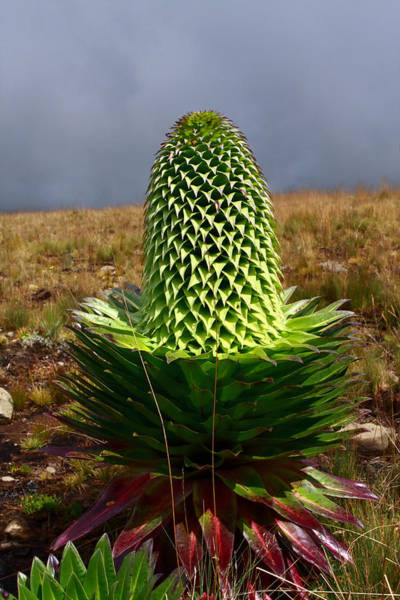 Mount Moran Photograph - The Giant Lobelia by Aidan Moran