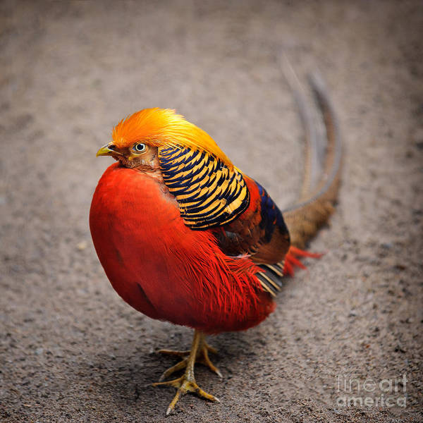 Photograph - The Golden Pheasant by Ari Salmela