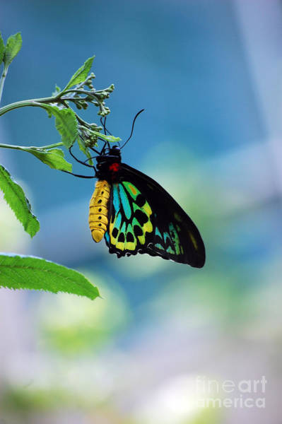 Goliath Photograph - The Goliath Birdwing by Robert Meanor