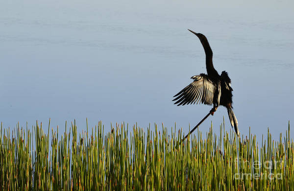 Double Crested Cormorant Photograph - The Good Life by Melanie Moraga