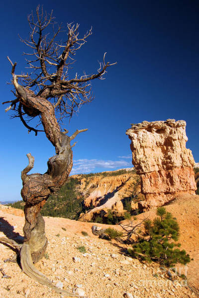 Photograph - The Hoodoo And The Tree by Adam Jewell