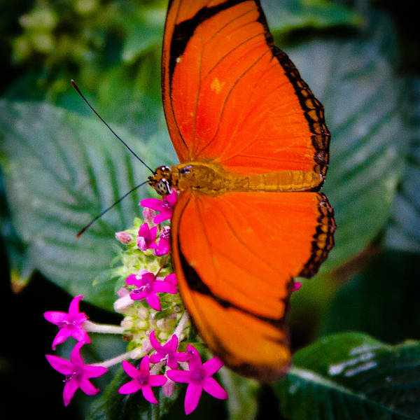 Photograph - The Julia Butterfly by David Patterson