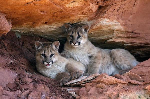 Mountain Lion Digital Art - The Kittens by Dewain Maney