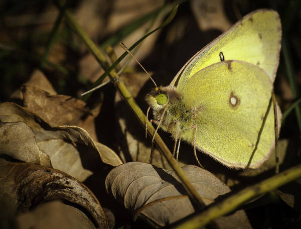 Sulfur Butterfly Wall Art - Photograph - The Last Butterfly by Thomas Young