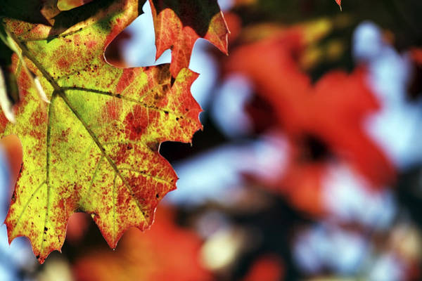Photograph - The Leaves Of Autumn by Jason Politte