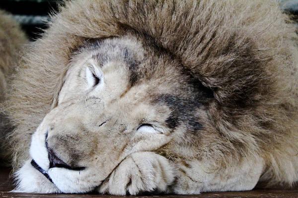 Photograph - The Lion Sleeps by Elizabeth Hart