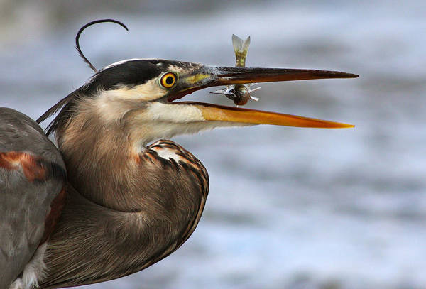 Little Blue Heron Photograph - The Little Fish by Mircea Costina Photography