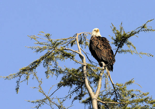 Photograph - The Majestic Watcher by Lawrence Christopher