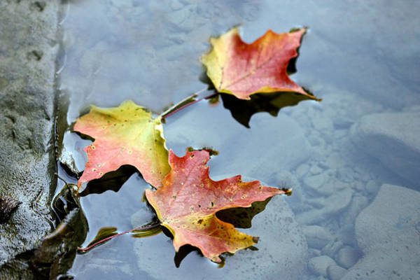 Photograph - The Maple Leaf by Nick Mares