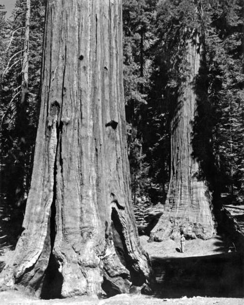 Wall Art - Photograph - The Mariposa Grove In Yosemite by Underwood Archives