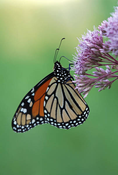 Photograph - The Monarch Butterfly by Juergen Roth