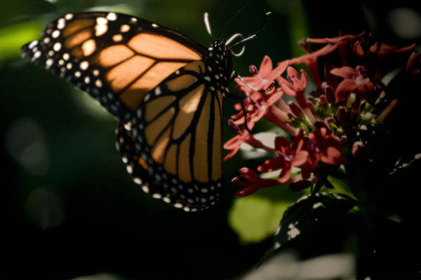 Photograph - The Morning Monarch by Trish Tritz