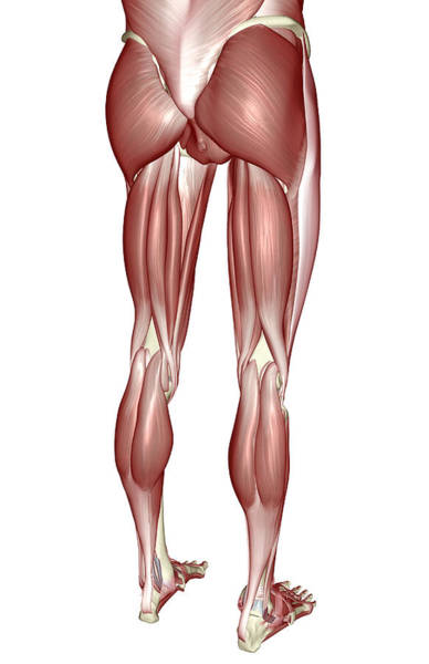 Buttocks Digital Art - The Muscles Of The Lower Body by MedicalRF.com