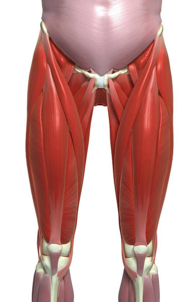 Hip Photograph - The Muscles Of The Lower Limb by MedicalRF.com