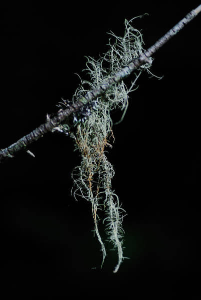 Lichens Photograph - The Old Man's Beard by Susan Capuano