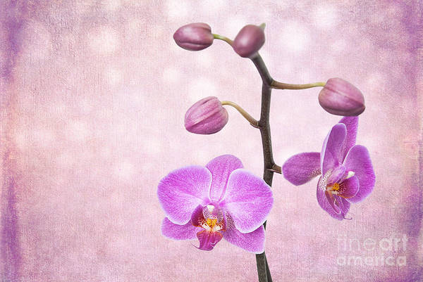 Photograph - The Orchid Tree - Texture by Hannes Cmarits