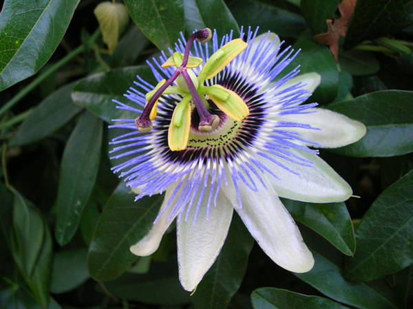 Photograph - The Passion Flower by Margaret Pitcher