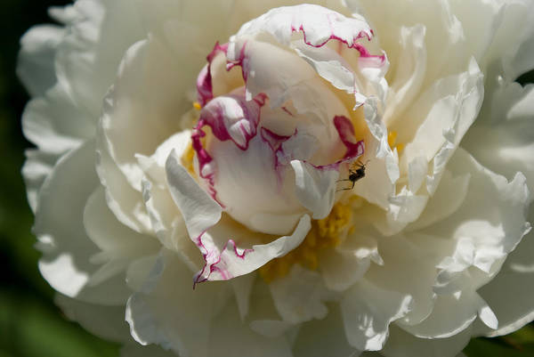 Photograph - The Peony And The Ant by Joanne Smoley