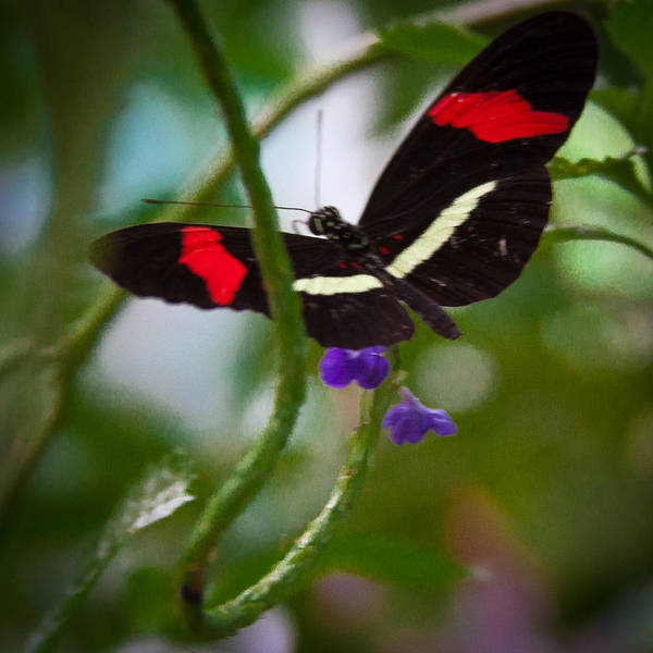 Photograph - The Postman Butterfly by David Patterson