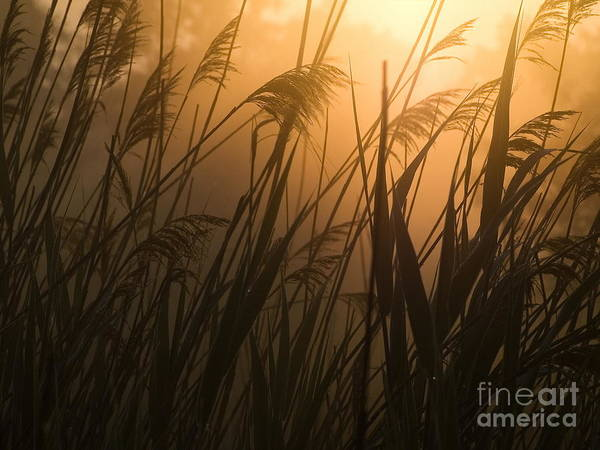 Photograph - The Reeds by Odon Czintos
