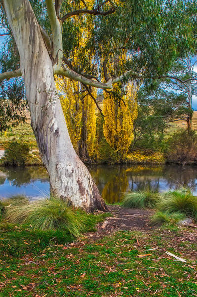 Photograph - The River Gum by Mark Lucey