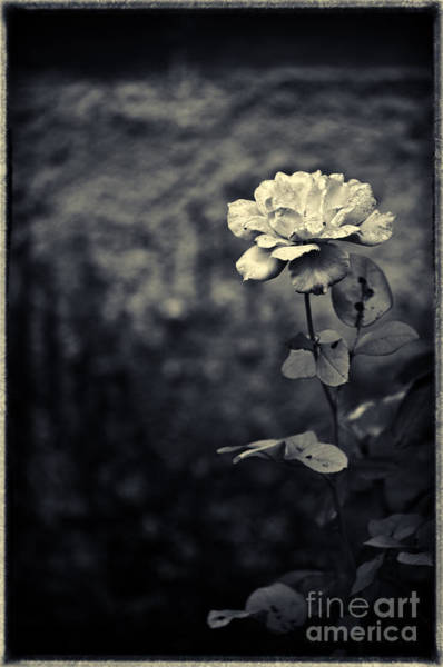 Photograph - The Rose by Silvia Ganora