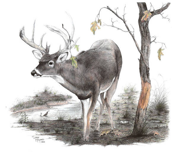 Whitetail Drawing - The Rubline by Steve Maynard
