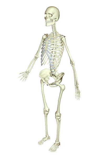 The Skeletal System Art Print