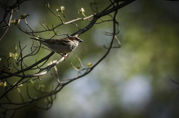 House Sparrow Photograph - The Summer House Sparrow by Chad Davis