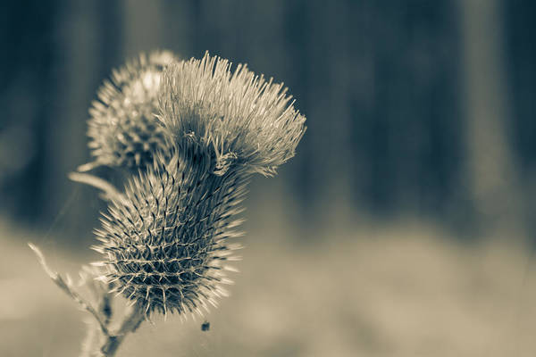 Photograph - The Thistle by Andreas Levi