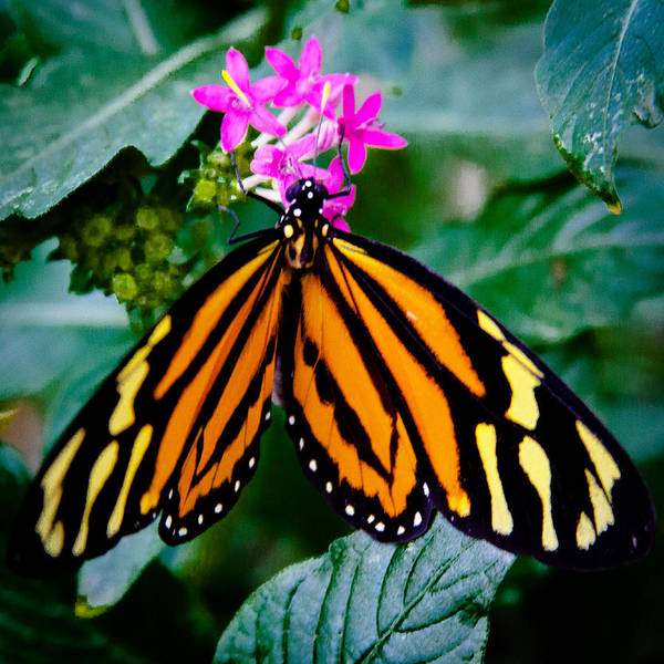 Photograph - The Tiger Butterfly by David Patterson