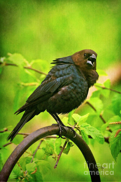 Brown-headed Cowbird Photograph - The Usurper by Lois Bryan