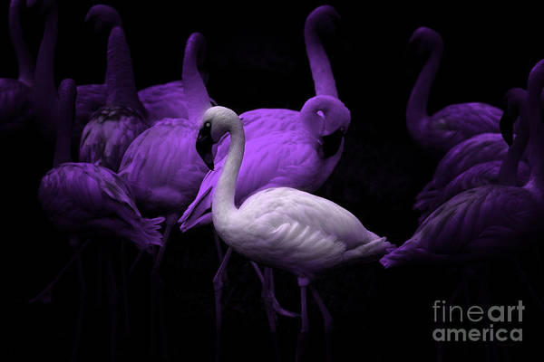 Photograph - The White Flamingo by Wingsdomain Art and Photography