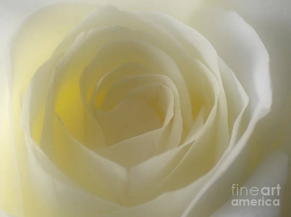 Wall Art - Photograph - The White Rose by Paul Ward