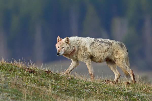 Alpha Wolf Wall Art - Photograph - The White Wolf by Sandy Sisti