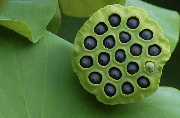 Lotus Seed Wall Art - Photograph - There's Always One Oddball by Pat Exum