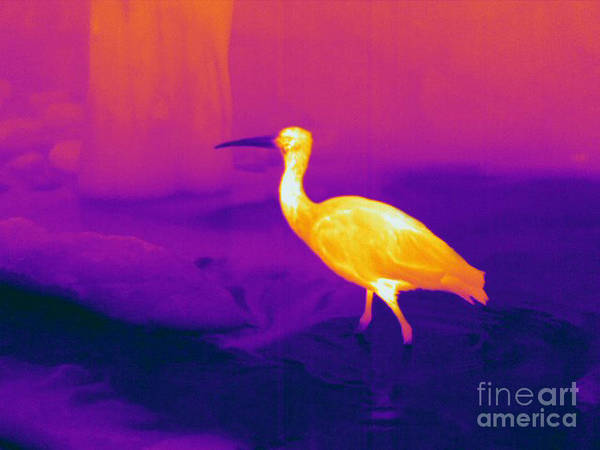 Infrared Radiation Photograph - Thermogram Of A Scarlet Ibis by Ted Kinsman