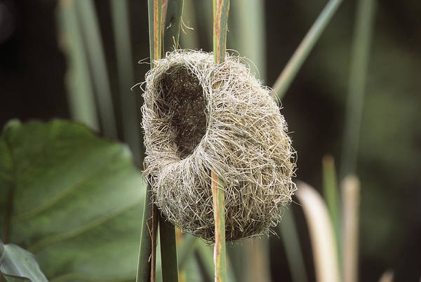 Empty Nest Wall Art - Photograph - Thick-billed Weaver Nest by Peter Chadwick