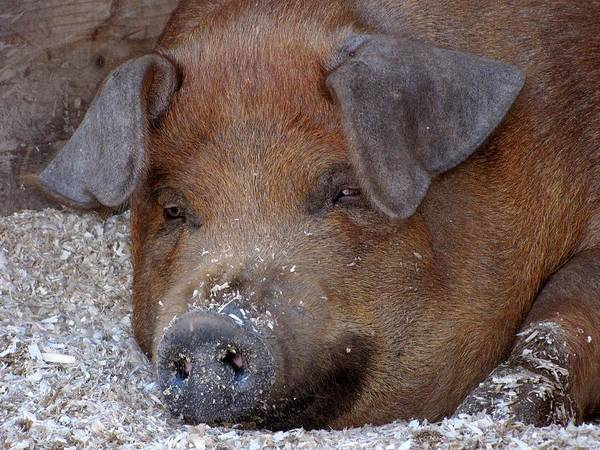 Petting Zoo Photograph - This Little Piggy Took A Nap by Lori Pessin Lafargue