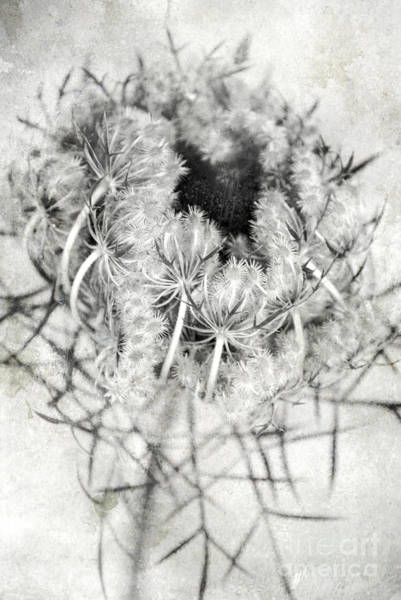Thistle Photograph - Thistle by HD Connelly