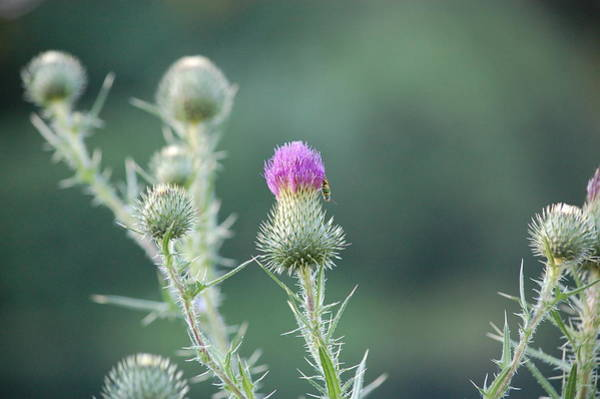 Photograph - Thistle by Mary McAvoy