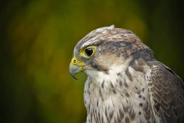 Photograph - Thoughtful Kestrel by Clare Bambers
