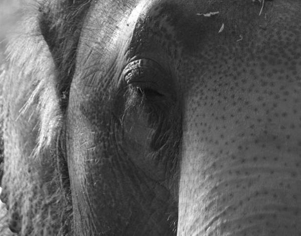 Photograph - Thoughts Of The Elephant by Maggy Marsh