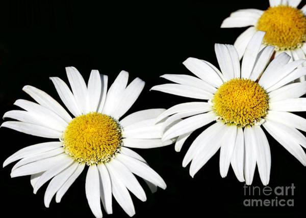 Photograph - Three Amigo Daisies by Sabrina L Ryan