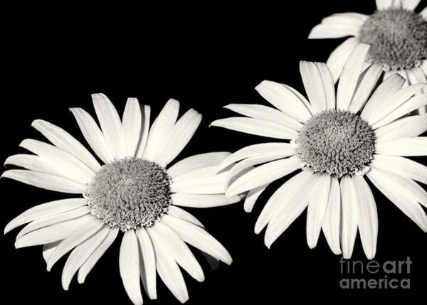 Photograph - Three Daisy Amigos by Sabrina L Ryan