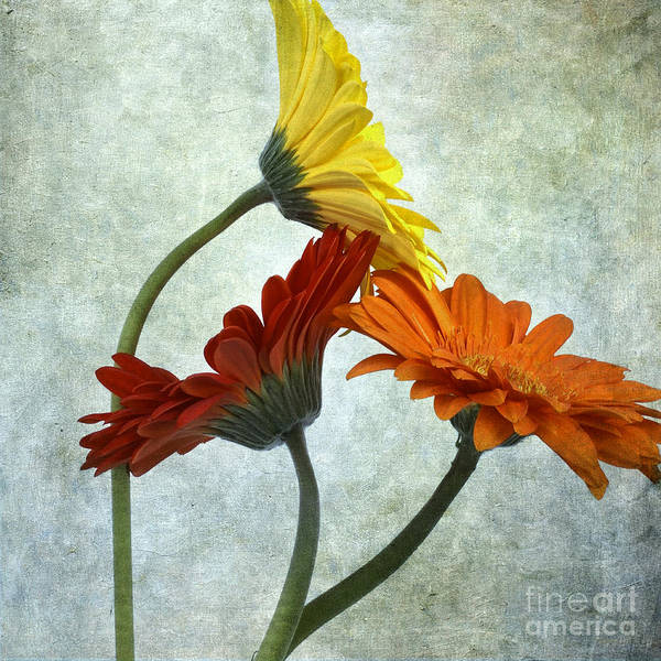 Singly Photograph - Three Gerbera by Bernard Jaubert