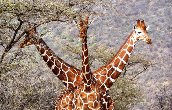 Photograph - Three Headed Giraffe by Tony Murtagh