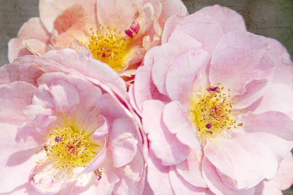 Photograph - Three Pink Cracked Roses by James BO Insogna